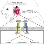 Abel Lab identifies link between insulin resistance and diabetic heart  failure – Making the Rounds