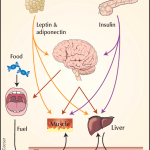 Obesity is a major risk factor for type II diabetes. Peripheral... |  Download Scientific Diagram