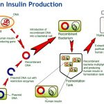 Down but not out: insulin-producing cells can bounce back after drug  treatment | Think of the PLOSibilities