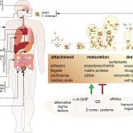 Biofilms by bacterial human pathogens: Clinical relevance – development,  composition and regulation – therapeutical strategies