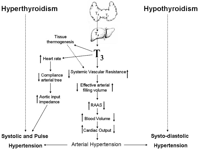 Arterial hypertension and thyroid disorders: What is important to know in  clinical practice? - ScienceDirect