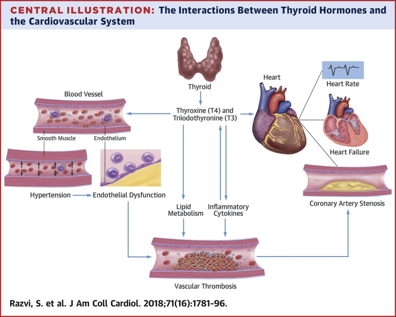 Thyroid Hormones and Cardiovascular Function and Diseases - ScienceDirect