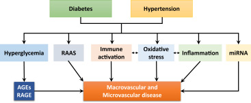Diabetes, Hypertension, and Cardiovascular Disease: Clinical Insights and  Vascular Mechanisms - ScienceDirect