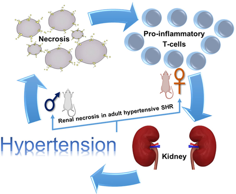Necrosis Contributes to the Development of Hypertension in Male, but Not  Female, Spontaneously Hypertensive Rats | Hypertension
