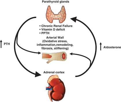 Hyperparathyroidism, arterial hypertension and aortic stiffness: a possible  bidirectional link between the adrenal cortex and the parathyroid glands  that causes vascular damage? | Hypertension Research