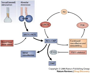 Sildenafil: from angina to erectile dysfunction to pulmonary hypertension  and beyond | Nature Reviews Drug Discovery