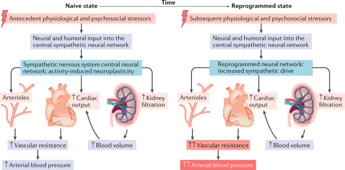 Central nervous system neuroplasticity and the sensitization of hypertension    Nature Reviews Nephrology