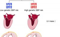 Effect of Systolic Blood Pressure on Left Ventricular Structure and  Function | Hypertension