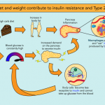 The Big Eater: How the immune system alters the pancreas during obesity -  Science in the News