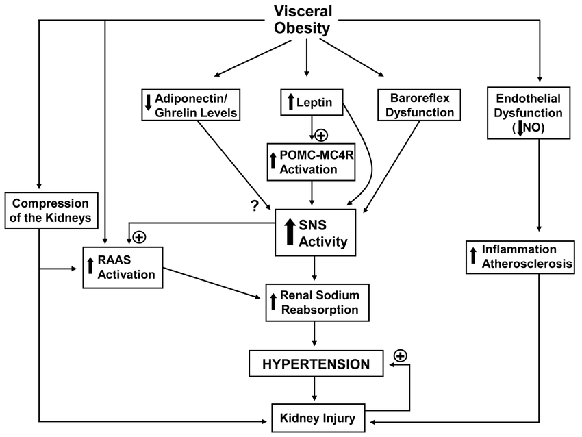 Potential mechanisms of obesity related hypertension and increased SNS... |  Download Scientific Diagram