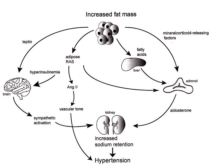 Proposed Mechanisms For Obesity-related Hypertension. | Download Scientific  Diagram