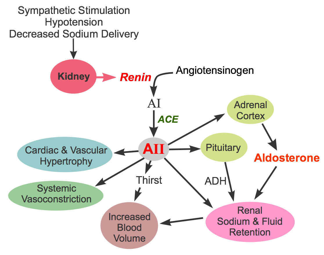 CV Pharmacology | Angiotensin Converting Enzyme (ACE) Inhibitors