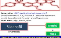Molecular therapy for pulmonary arterial hypertension: Sildenafil [Brand  name: Revatio, Viagra and others], a cGMP-specific phosphodiestrase type 5  inhibitor used in the treatment of erectile dysfunction and pulmonary  hypertension, inhibits the development