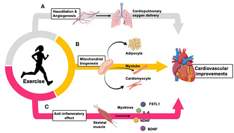 Frontiers | Effects of Exercise to Improve Cardiovascular Health |  Cardiovascular Medicine