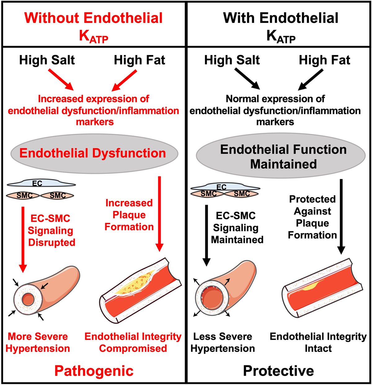 Endothelial ATP-Sensitive Potassium Channel Protects Against the  Development of Hypertension and Atherosclerosis | Hypertension