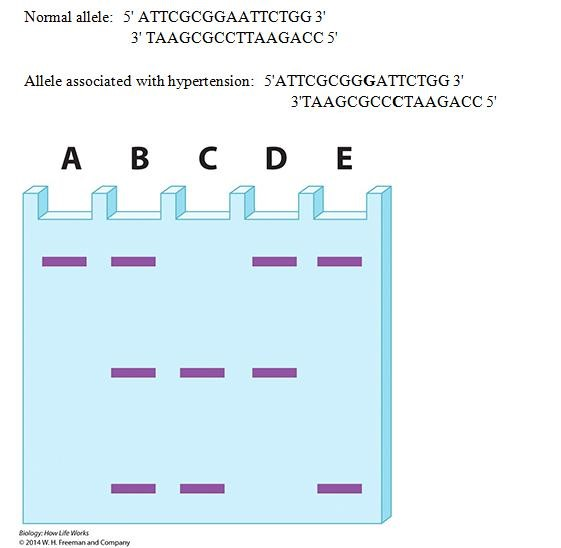 Shown here are two alleles of an SNP, one of which is   Chegg.com