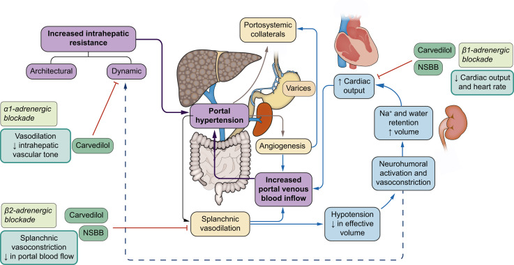 Beta-blockers in cirrhosis: Evidence-based indications and limitations -  ScienceDirect