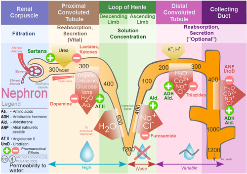 Diuretics in the Treatment of Hypertension - Physiopedia