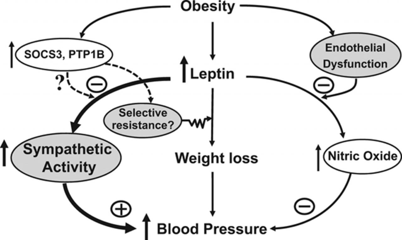 Obesity-Induced Hypertension   Circulation Research