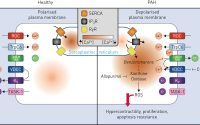 Repurposing benzbromarone for pulmonary arterial hypertension: can  channelling the past deliver the therapy of the future? | European  Respiratory Society