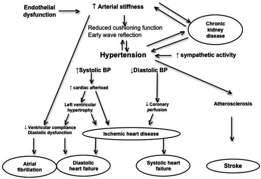 Pathophysiology of hypertension and organ damage in the elderly. | Download  Scientific Diagram