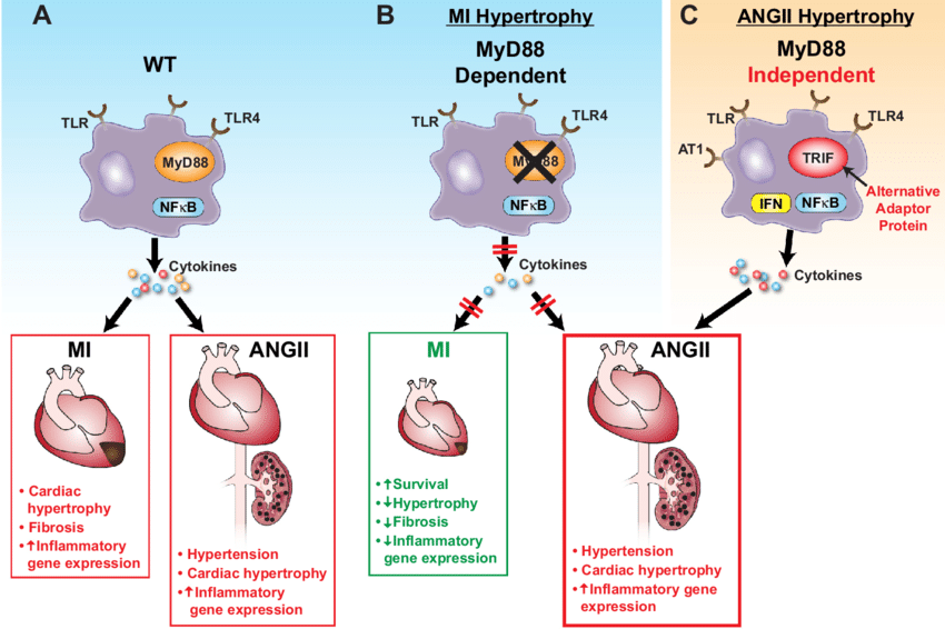 Pathways of Toll-like receptors (TLR) in hypertension and cardiac... |  Download Scientific Diagram