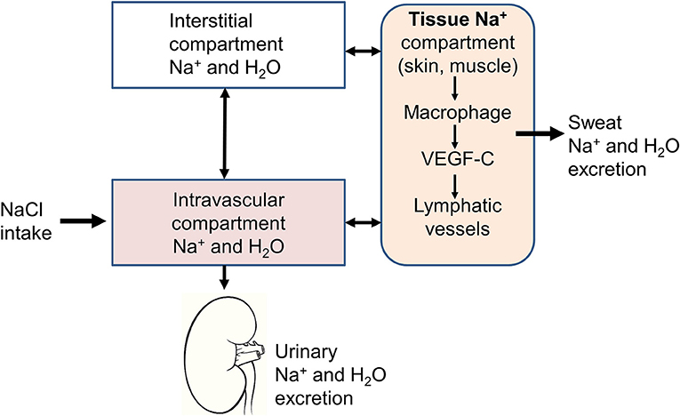 Frontiers | New Insights on the Role of Sodium in the Physiological  Regulation of Blood Pressure and Development of Hypertension |  Cardiovascular Medicine