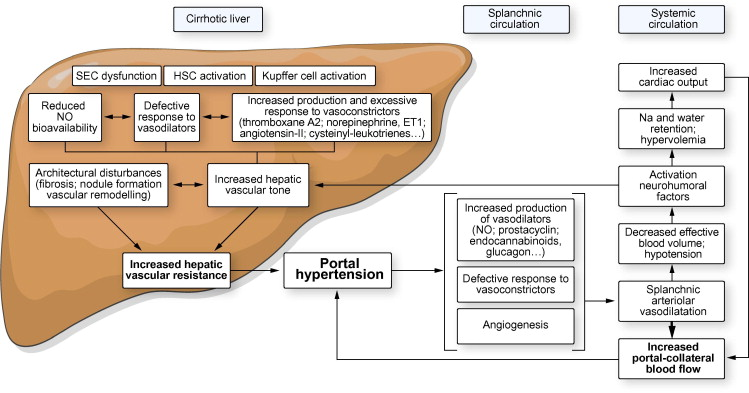 Functional aspects on the pathophysiology of portal hypertension in  cirrhosis - Journal of Hepatology